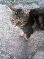 Tigresse, chat Gouttière