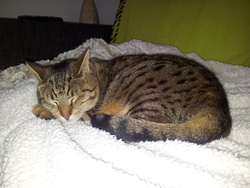 Tigrette, chat