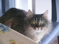 Tigrette, chat Gouttière