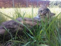 Tigrette, chat Européen