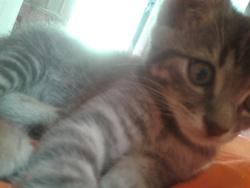 Tigri, chat