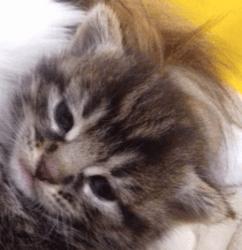Tigresse, chaton