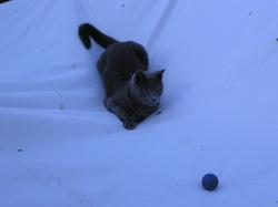 Tigris, chat Chartreux