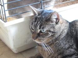 Tigris, chat Gouttière