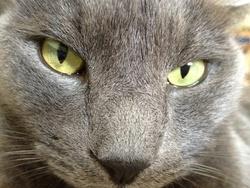 Tigrisou, chat