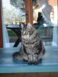 Tigron, chat Européen