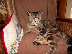 Tigroo, chat Européen