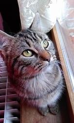 Tigroo, chat Angora turc