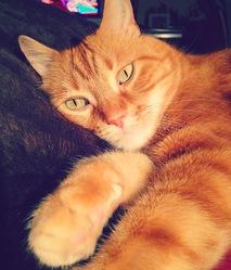 Tigrou , chat