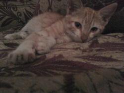 Tigrou, chat Somali