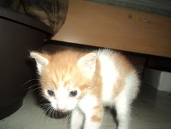 Tigrou, chat Gouttière