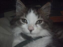 Tigrou, chat Norvégien