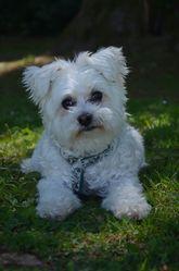 Tigrou, chien Bichon maltais