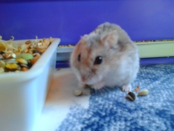 Tigrou, rongeur Hamster