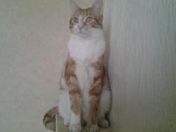 Tigrou , chat Européen