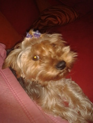 Tigrou, chien Yorkshire Terrier