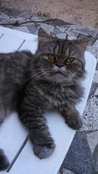 Tigrou, chat Chinchilla