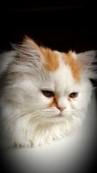 Tigrou, chat Persan