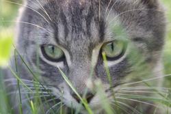 Tigrou, chat Chartreux