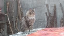 Tigrou, chat Maine Coon