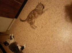 Tigrou, chat Angora turc