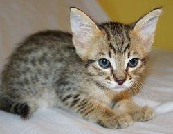 Tigrounette, chat Savannah