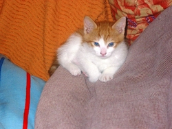 Tigrounette, chat Japanese Bobtail