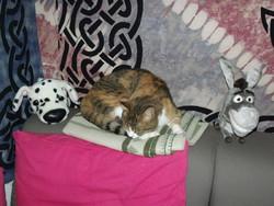 Tigroux, chat Européen