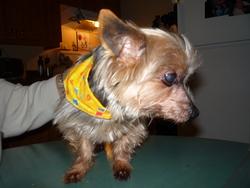 Tiguidou, chien Yorkshire Terrier