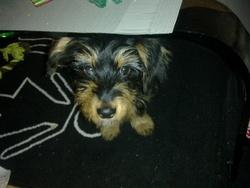 Tika, chien Teckel