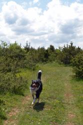 Kiki, chien Beauceron