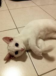 Tiki, chat Européen