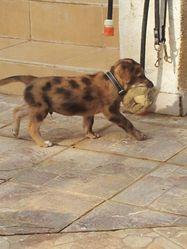 Tiki, chien