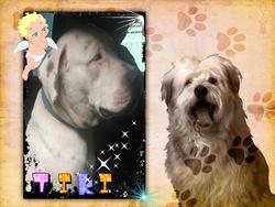 Tiki, chien American Staffordshire Terrier