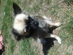 Tikitik, chien Chihuahua