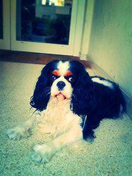 Tiky, chien Cavalier King Charles Spaniel