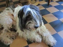 Tilou , chien Terrier tibétain