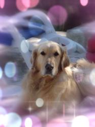 Tilou, chien Golden Retriever