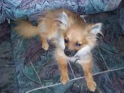 Tilou, chien Chihuahua