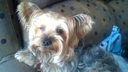 Tilou, chien Yorkshire Terrier