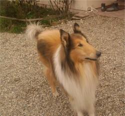 Tiloup, chien Colley à poil long
