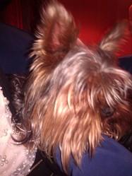 Tilt, chien Yorkshire Terrier