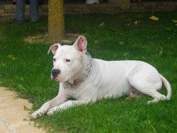 Tim, chien Dogue argentin