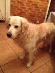 Tim, chien Golden Retriever
