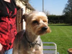 Tim, chien Yorkshire Terrier