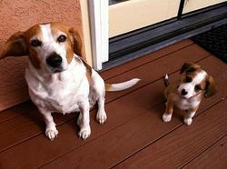 Tim, chien Jack Russell Terrier
