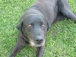Tim, chien Labrador Retriever