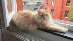 Timi, chat Européen