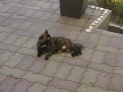 Timine, chat Gouttière