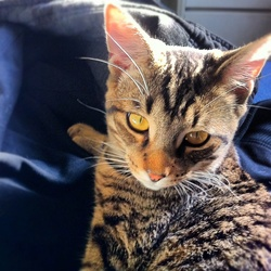 Timine, chat Bengal